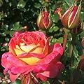 Midsummer® Edelrose von Rosen-Weber - Du und dein Garten