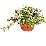 Exotenherz - Flor de tres masters – Tradescantia quadricolor – Planta colgante de fácil cuidado – Maceta de 12 cm.