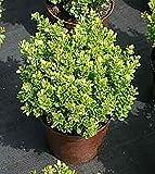 Grüne Kugelberberitze Kobold - Berberis thunbergii Kobold (15-20) - immergrün