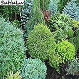 Go Garden 25 PCS Nano giapponese pianta pino bonsai piante da giardino Arredamento Evergreen ornamentali Forte perenne giardino di piante: 25 pz