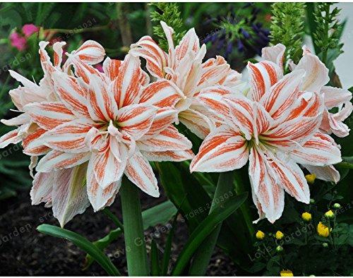 Galleria fotografica 2 lampadine Amaryllis Bulbi veri rosa Hippeastrum Bulbi Fiori (non Semi), Barbados Lily vaso giardino della casa Balcone pianta bulbosa