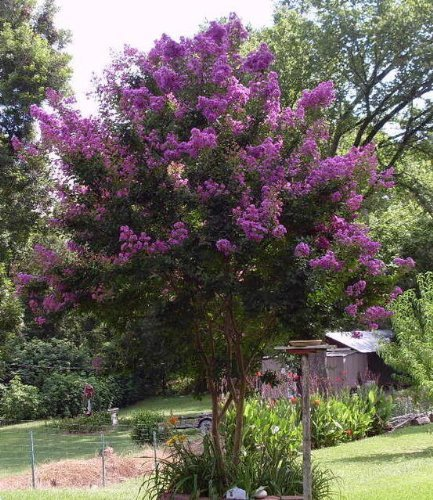 35-purple-crepe-myrtle-lagerstroemia-flowering-shrub-bush-small-tree-seeds-by-seedville