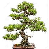 Japanische Zeder Samen 30 Teile / paket Home Ornamental Tree Seed Wohnzimmer Dekoration