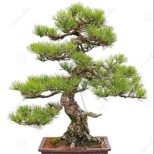 KAYI japonais cèdre graines rares graines d'arbres pour la maison intérieure jardin extérieur Bonzai Mini jardin maison ornement série ornement