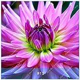 ZLKING Real Dahlia Bulbes à fleurs Bonsai bulbes de fleurs non Dahlia Graines vivace Plante en pot bulbeuse racine pour jardin 13