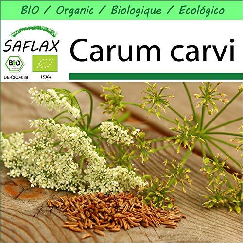 SAFLAX - Jardin dans la boîte - BIO - Carvi - 800 graines - Avec pot en argile, support, substrat de culture et engrais - Carum carvi