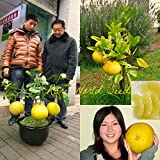Portal Cool Hardy Citrus Mini Pomelo Pomello Baum 'Dwarf Kao Pan' Grapefruit! Rare Seeds