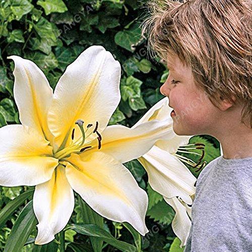100 particules / lot Réductions Blue Heart Lily Graines de plantes en pot Bonsai usine Lily Graines de fleurs pour jardin Plantation rouge