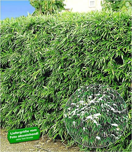 fargesia hecke BALDUR-Garten Winterharte Bambus-Hecke, 10 Pflanzen, Fargesia murielae Simba