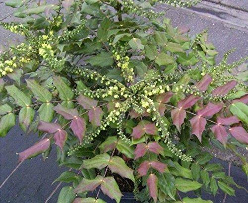 Schmuckblatt-Mahonie - Mahonia media - Winter Sun - Frühblüher, gelbe honigduftende Blüten, 30-40 cm