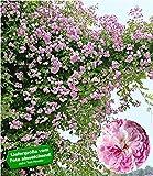 BALDUR-Garten Rambler-Rosen 'Paul's Himalayan Musk Rambler', 1 Pflanze Kletterrose winterhart mehrjährige Kletterpflanze
