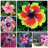 In vendita!!! Semi di Hibiscus 200pcs 24kinds semi di albero Hibiscus rosa-sinensis Fiore semi di ibisco per piante da fiore in vaso