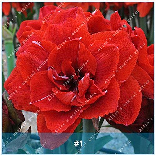 Galleria fotografica ZLKING 2 Pz Amaryllis Bonsai Bulbi Barbados Lily non Semi Balcone Fiore Hippeastrum lampadina idroponica Root in vaso piante da fiore 1