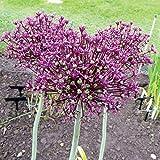 """10x Allium """"Miami"""" Mehrjähriger Zierlauch mit Lila Rötlichen Blüten"""