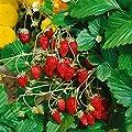 Amazon.de Pflanzenservice 585692 Walderdbeere Fontaine, 2 Pflanzen von Amazon.de Pflanzenservice auf Du und dein Garten