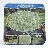 Inter Flower- Jetzt einsetzen ! Komplettes Wasserpflanzenpaket ,Teichpflanzen