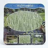 Inter Flower de encaje Ahora. Paquete de agua Planta Completo, estanque Plantas