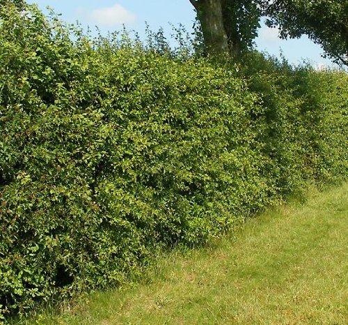 Weissdorn für Hecken im Container 80 bis 100 cm
