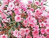 Pianta vera da esterno arbusto SIEPE ORNAMENTALE DI OLEANDRO ROSA CORALLO