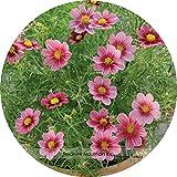 La herencia raras Importado USA perennes Semillas Coreopsis Flor del cosmos, Professional Pack, 100 semillas / paquete, muy bonito