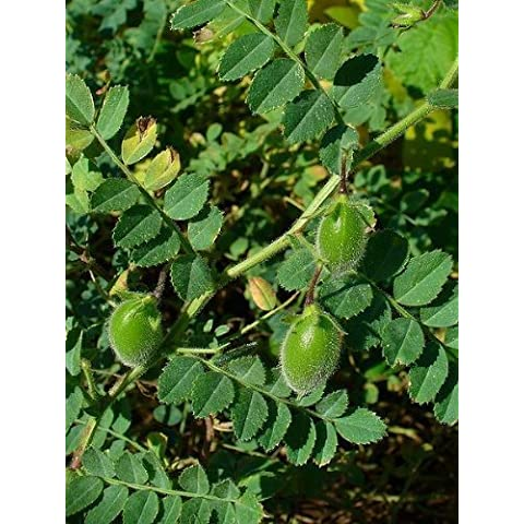 15 CHICK PEA / GARBANZO BEAN Chickpea Cicer Arientum Vegetable Seeds *Comb S/H by Seedville