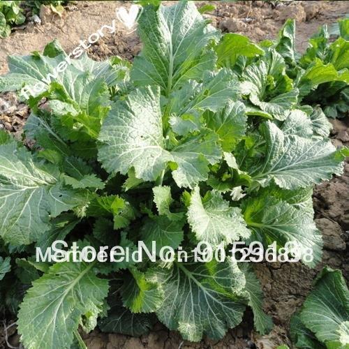 Graines de légumes Bok Choy Pak Choi chinois Chou 400 graines