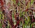 Panicum virgatum 'Cardinal' 1 Liter (Ziergras / Gräser) NEUE SORTE ab 3,99 € pro Stück von Stauden Gänge bei Du und dein Garten