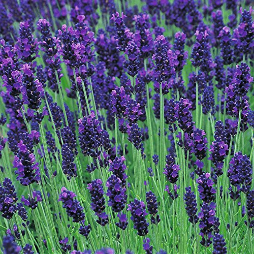 lavender-lavendula-angustifolia-hidcote-blue-04-gm-375-seeds