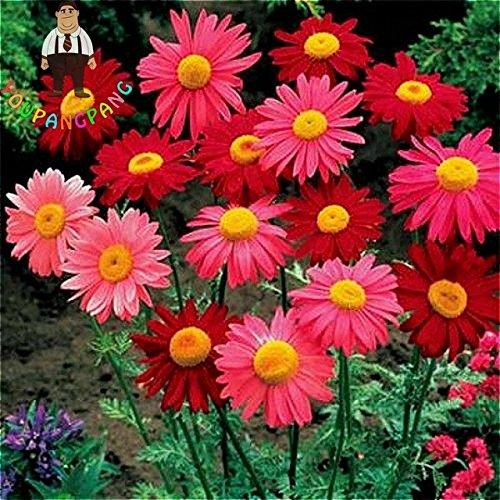 chinamarket 100 pc/sacchetto gerbera nuovi semi ibridi misti flower pot bonsai piante facile da coltivare per jardin garden flowers seed