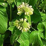 Blumixx Stauden Phlomis russeliana - Syrisches Brandkraut, im 0,5 Liter Topf, gelb blühend