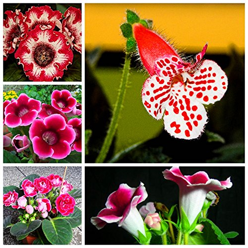 Freies Verschiffen 100pcs / bag 10 Arten Bonsai gloxinia Seeds 100% echte Bio-Blooming-Blumensamen für Heim & Garten