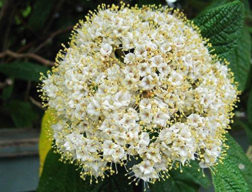 Roter Hartriegel Cornus sanguinea 35 Samen