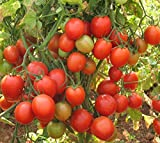 Best Tomato Plants - M-Tech Gardens Triple Disease Resistant Tomato F1 Hybrid Review