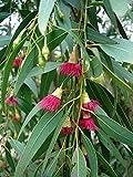 weißer Gummi Eukalyptus - Samen **Eucalyptus leucoxylon rosea** (50)