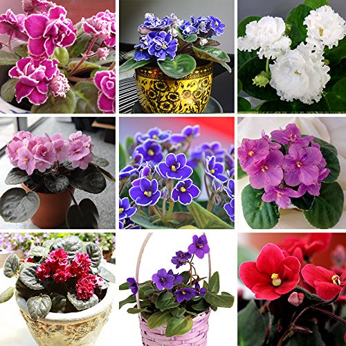 100-pcs-24-colors-violet-seeds-african-violet-seeds-garden-potted-plants-violet-flowers-perennial-he