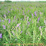 Rea Chinese Scutellaria Seeds 150pcs Her...