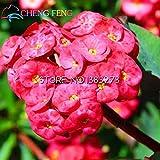 2016Hot Sale 50Multicolor Christusdorn (Euphorbia) Samen Rare New Rare Blühende Pflanzen Vier Season für Home Garten Shown In Desc rot