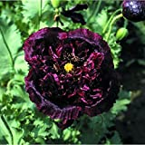 Kings Seeds - Papaver - (Poppy) Paeoniflorum Black Beauty - 150 Seeds