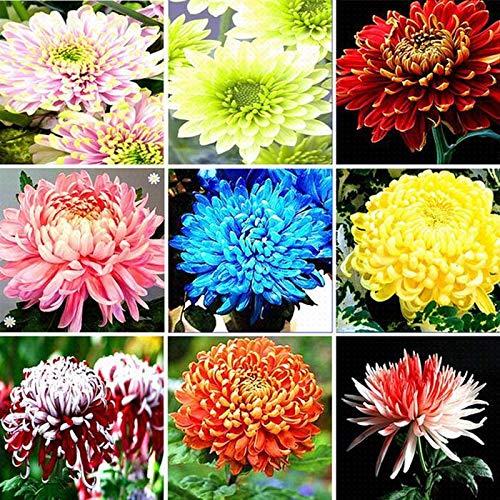 Acecoree Blumensamen Chrysanthemen Blumenmischung Saatgutaufbewahrung Saatgut für Garten Balkon ein- und mehrjährig