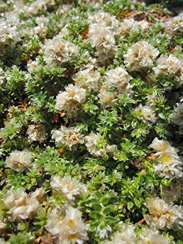 Thymianblättrige Mauermiere - Paronychia kapela ssp. serpyllifolia