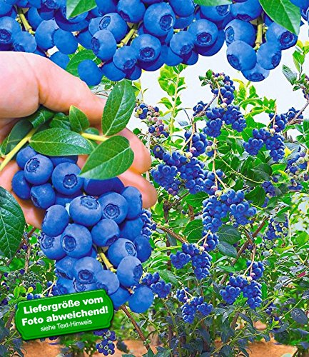 BALDUR-Garten Trauben-Heidelbeeren Reka Blue Blaubeeren Heidelbeeren Pflanze, 2 Pflanzen Vaccinium corymbosum
