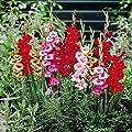 Gladiolen Schmetterlingsmischung von Meingartenshop - Du und dein Garten