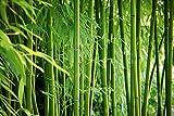 Artland Qualitätsbilder I Wandbilder Selbstklebende Wandfolie 30 x 20 cm Botanik Gräser Bambus Foto Grün C7EO Bambus