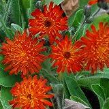 Plant World Seeds - Hieracium Aurantiacum Seeds