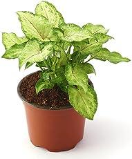 Ugaoo Syngonium Red Yami Indoor Plant With Pot