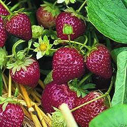 """Dominik Blumen Und Pflanzen, Erdbeere""""ostara"""", 20 Stück, Torftopf, Plus 1 Paar Handschuhe Gratis"""