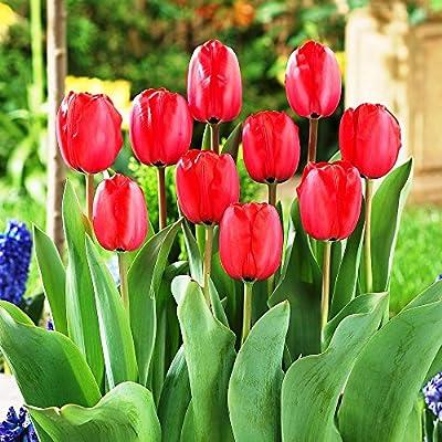Darwin-Hybrid-Tulpe Red Impression von Meingartenshop bei Du und dein Garten