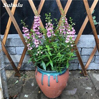 100pcs Belles aromatiques gypsophile Graines vrai étoilées fleurs en pot Gypsophila paniculata All Over The Sky Étoile Bonsai Fleur 15