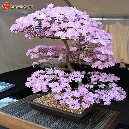 Hot Sale. Japanischer Sakura Samen Bonsai Blume Kirsche Blüten Cherry Tree Ornament Pflanze 10Partikel/lot