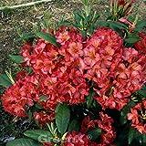 INKARHO - Großblumige Rhododendron Balalaika 30-40cm - Alpenrose
